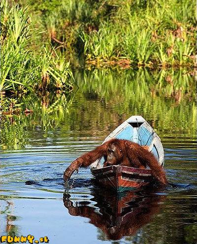 Orangutan na lodi